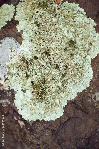 Photo foliose lichen on stone