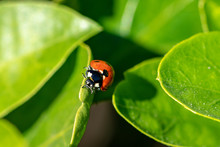 7 Spotted Ladybird (Coccinella Septempunctata) On A Green Leaf
