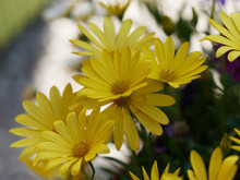 Dimorphotheca Ecklonis Or Osteospermum - Yellow Cape Marguerite 'Summersmile' Or Daisybush An Ornemental Plant Native Of South Africa