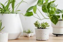 Close Up Of Air Plants, Cacti And Succulents Composition In Design And Hipster Pots On The Brown Table. White Walls. Modern And Floral Concept Of Home Garden Interior. Nature Love.