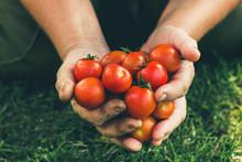 Cherry Tomato. Farmer With Har...