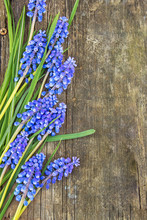 Blue Muscari Flower Grape Hyacinths On Wooden Background, Top View, Place For Text