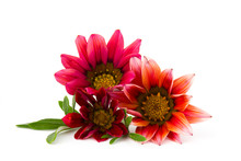 Gazania Flower Native