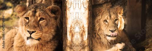 Fototapeta LION lion, animal, cat, wildlife, mammal, carnivore, safari, zoo,masai lion, soi