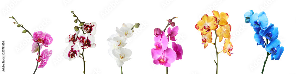 Fototapety, obrazy: Set of beautiful colorful orchid phalaenopsis flowers on white background
