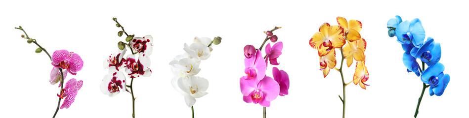 Naklejka na ściany i meble Set of beautiful colorful orchid phalaenopsis flowers on white background
