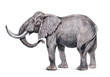 African elephant illustration. Hand made pencil drawing.