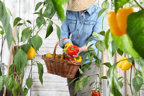Canvas Print woman in vegetable garden with wicker basket picking colored sweet peppers from