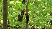 Pileated Woodpecker In Forest Flies Away