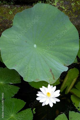 Lotus Flower In Small Pond At Amandari Hotel Near Ubud Buy This
