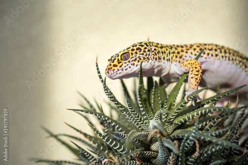 Eublepharis is cute leopard gecko