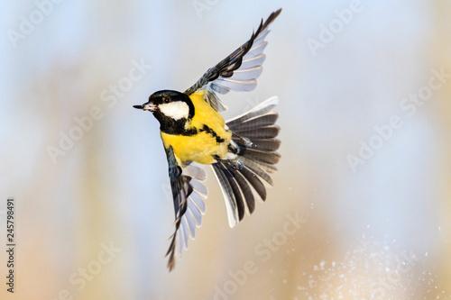 Fototapeta premium sikora z rozpostartymi skrzydłami w locie