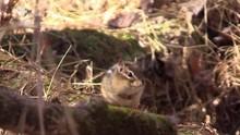 Chipmunk Sitting On Log Runs Away Forest Sunlight Autumn