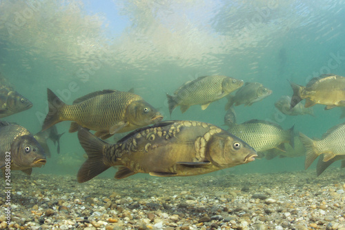 Valokuvatapetti Freshwater fish carp (Cyprinus carpio) in the beautiful clean pound