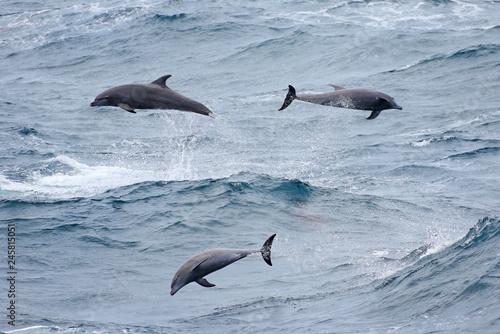 Plakat Delfin Dzikiej Butelki z Nosiem Bawiąc się w wietrzne surfowanie, wielkie fale oceanu. Porwingujące delfiny.
