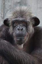 Common Chimpanzee (Pan Troglod...