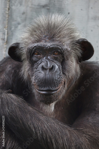 Common chimpanzee (Pan troglodytes) Canvas Print
