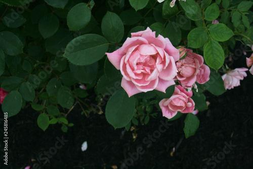 Fototapety, obrazy: pink rose on a green background