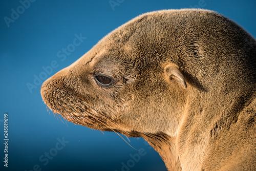 Photo  California Sea Lion, San Diego California