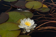 Single, White Water Lily Flower Surrounded By Green Lily Pads, Or Leaves. In Lake Mahinapua, West Coast, New Zealand.