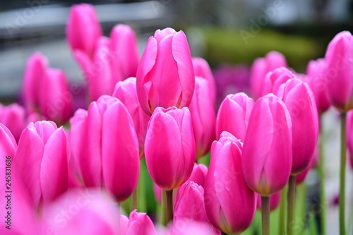 満開のピンクの寒咲チューリップ