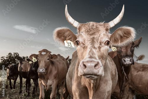 Fotografie, Obraz  Boss Cow