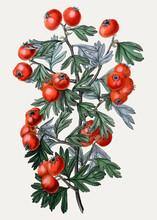 Oriental Hawthorn Illustration