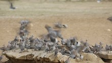 Cape Turtle Doves Gathering At...