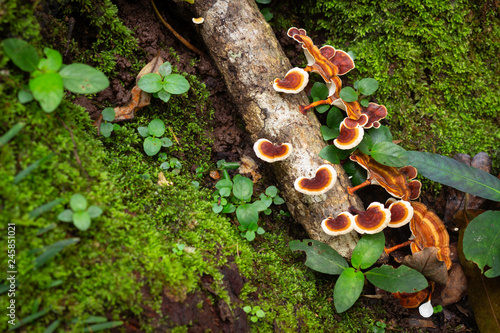 Fotografia, Obraz  Polypore mushroom and green fern at rainforest