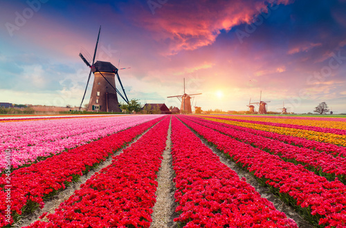Foto auf Leinwand Rot kubanischen Dramatic spring scene on the tulip farm. Colorful sunset in Netherlands, Europe.