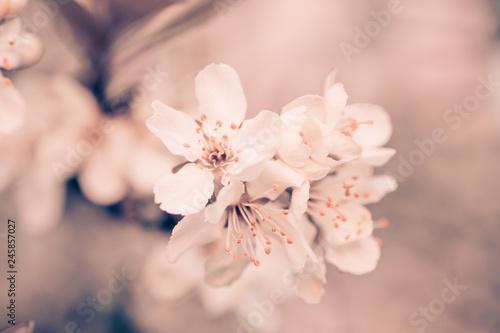 Fototapeta Flowers of Cherry plum or Myrobalan Prunus cerasifera blooming in the spring on the branches. Designer tinted in Orange. obraz na płótnie