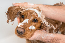 Cocker Spaniel Dog Taking A Shower With Shampoo And Water