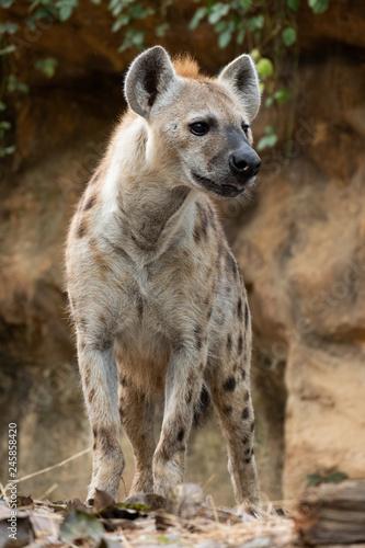 Garden Poster Hyena spotted hyena