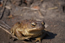 Common Toad Siting On The Ground, European Toad In The Natural Environment. Bufo Bufo. Wildlife In Czech.