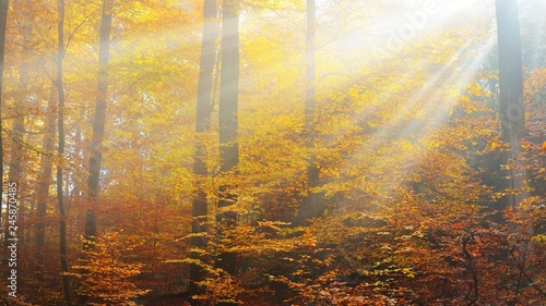 Papiers peints Forets Mysterious morning fog in a beautiful beech tree forest. Autumn trees with yellow and orange foliage. Heidelberg, Germany