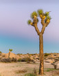 canvas print picture - Joshua Tree at Dusk - Purple and Pink sky in background