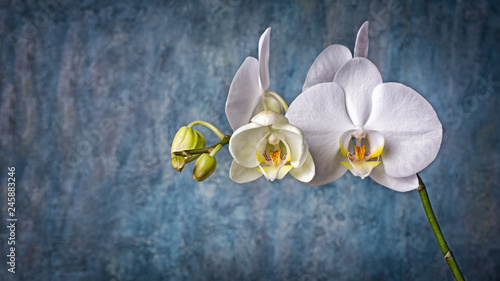Branch with white orchid flowers on blue concrete