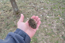 Hand Holding Large Magnolia Tree Seed With More Seeds On The Ground