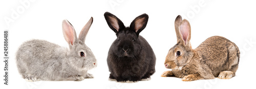 Three rabbits sitting together isolated on white background