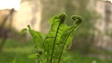 Young Green Shoots Of Ferns Ar...