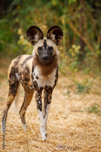 Photo  African wild dog (Lycaon pictus), aka, painted wolf, African hunting dog, Cape Hunting Dog or African painted dog
