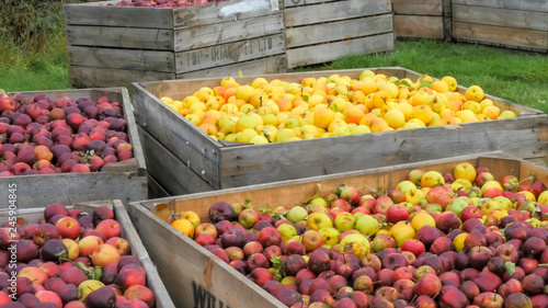 freshly harvested golden delicious and red apples in bins ready to be processed © chris
