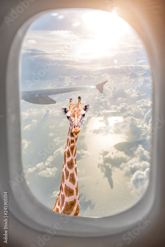 Giraffe with long neck surprisingly looking through plane window at sunset Wallpaper Mural