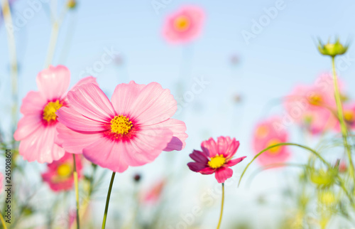Poster Universe Closeup beautiful pink cosmos flower with blue sky background, selective focus