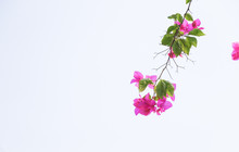 Trees Planet, Bougainvillea Gl...