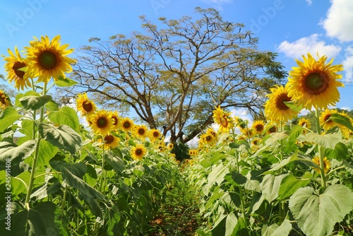 Beautiful Sunflowers Blooming In Sunflower Garden Big Tree And