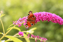 Butterfly Feeding On Buddleia ...