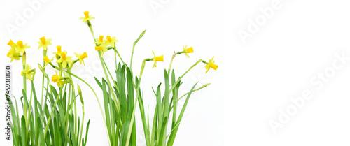 Deurstickers Narcis Ostern, Frühling, Osterglocken, Narzissen, Banner, Header, Headline, Textraum, copy space, freigestellt, isoliert, auf weiß