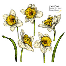 Hand Drawn Set Of Colored Daff...