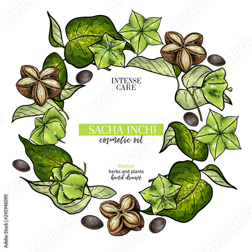Hand Drawnsacha Inchi Branch And Fruits Engraved Colored Vector Banner Moisturize And Healing Essential Oil Aromatherapy Rich Protein Serum For Cosmetic Package Design Medicinal Herb Treating Buy This Stock Vector And Explore